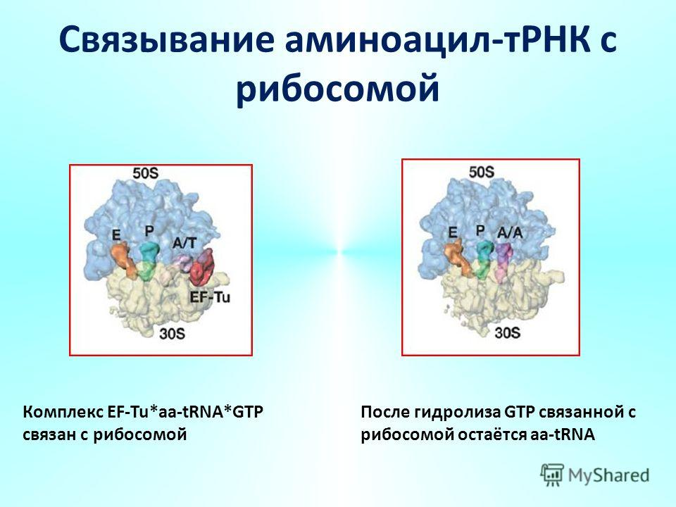 Связывание аминоацил-тРНК с рибосомой Комплекс EF-Tu*aa-tRNA*GTP связан с рибосомой После гидролиза GTP связанной с рибосомой остаётся aa-tRNA
