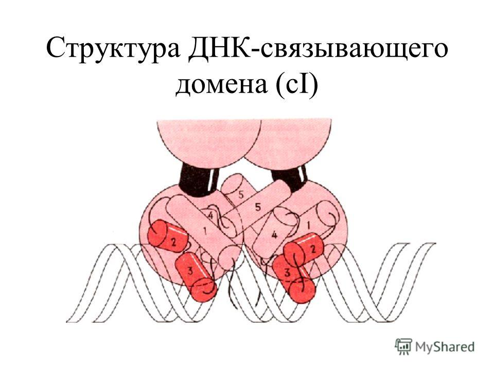 Структура ДНК-связывающего домена (cI)