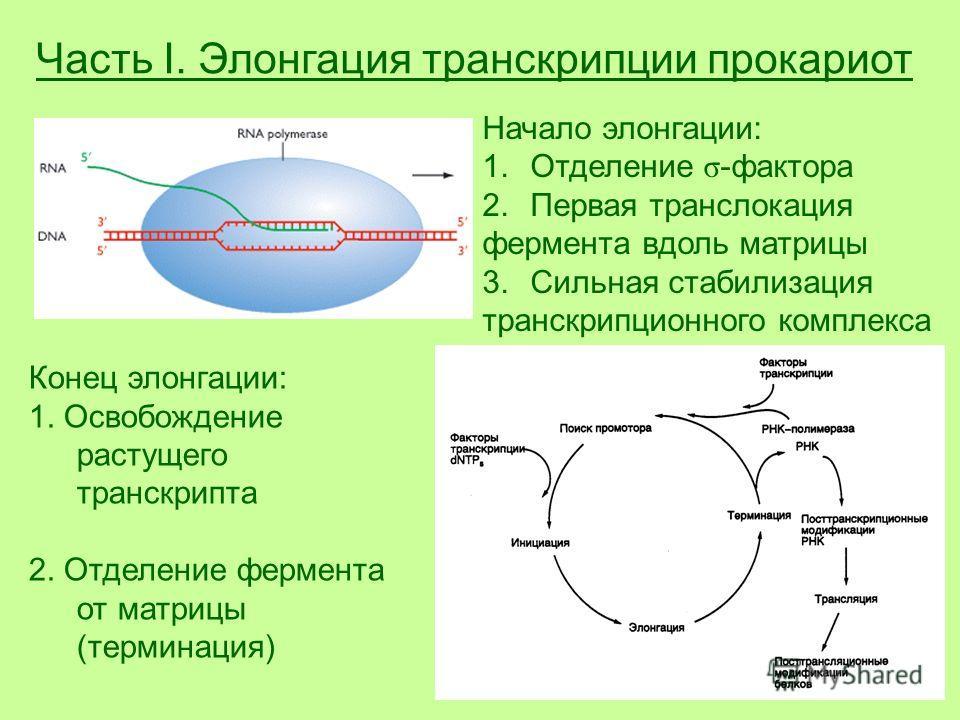 Часть I. Элонгация транскрипции прокариот Начало элонгации: 1.Отделение σ -фактора 2.Первая транслокация фермента вдоль матрицы 3.Сильная стабилизация транскрипционного комплекса Конец элонгации: 1. Освобождение растущего транскрипта 2. Отделение фер