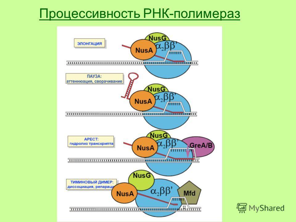 Процессивность РНК-полимераз