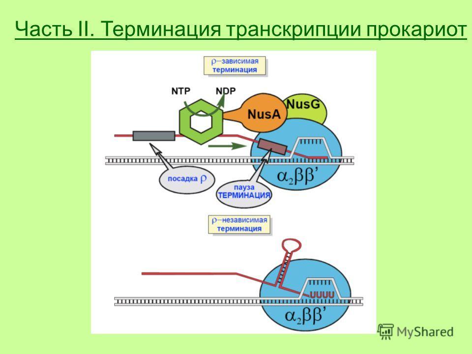 Часть II. Терминация транскрипции прокариот