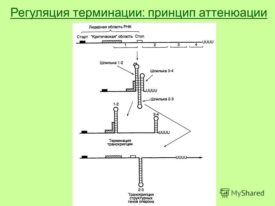 Регуляция терминации: принцип аттенюации