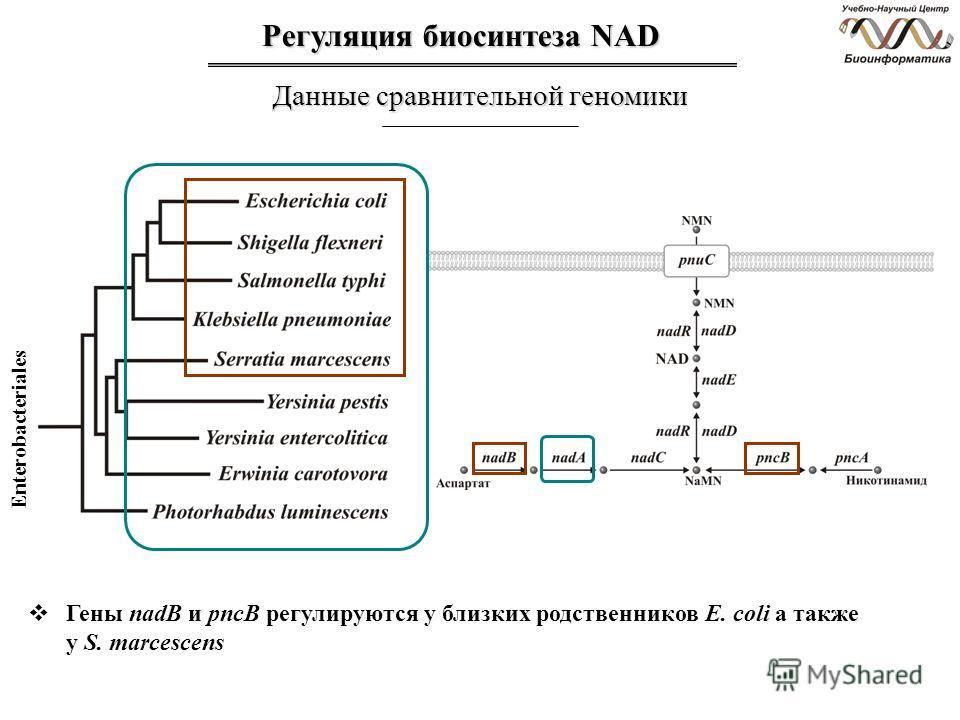 Регуляция биосинтеза NAD Данные сравнительной геномики Гены nadB и pncB регулируются у близких родственников E. coli а также у S. marcescens Enterobacteriales