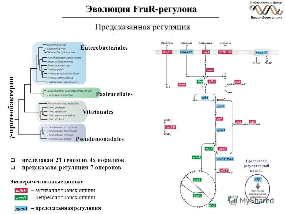 Эволюция FruR-регулона Предсказанная регуляция Enterobacteriales Pasteurellales Vibrionales Pseudomonadales исследован 21 геном из 4х порядков предсказана регуляция 7 оперонов активация транскрипции репрессия транскрипции Экспериментальные данные пре
