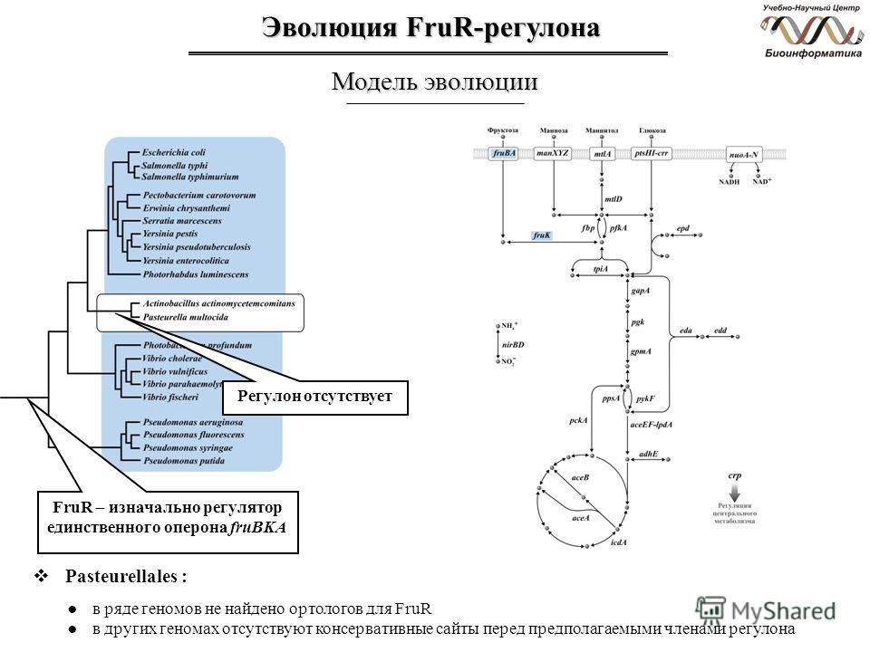 Эволюция FruR-регулона Модель эволюции Регулон отсутствует Pasteurellales : в ряде геномов не найдено ортологов для FruR в других геномах отсутствуют консервативные сайты перед предполагаемыми членами регулона FruR – изначально регулятор единственног