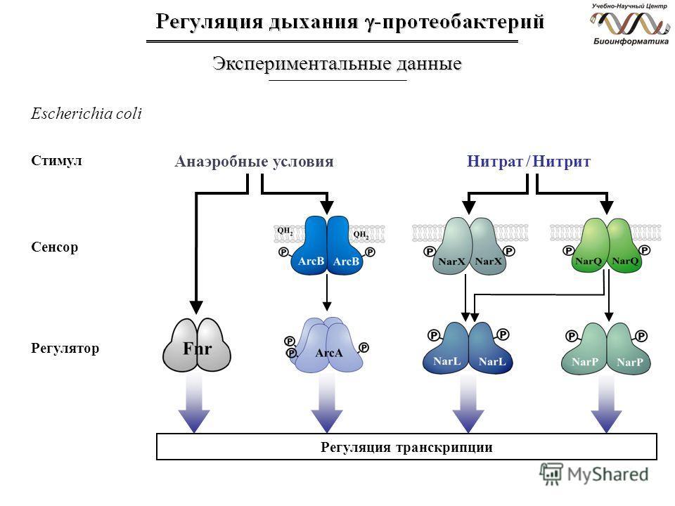Экспериментальные данные Escherichia coli Стимул Сенсор Регулятор Анаэробные условияНитрат / Нитрит Регуляция транскрипции