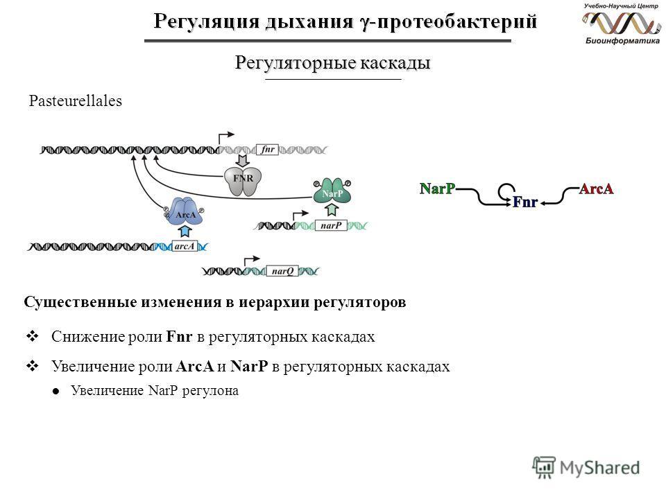 Регуляторные каскады Pasteurellales Снижение роли Fnr в регуляторных каскадах Увеличение роли ArcA и NarP в регуляторных каскадах Увеличение NarP регулона Существенные изменения в иерархии регуляторов