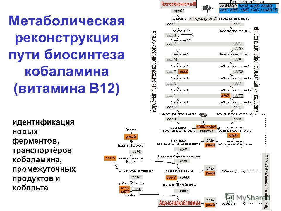 Метаболическая реконструкция пути биосинтеза кобаламина (витамина В12) идентификация новых ферментов, транспортёров кобаламина, промежуточных продуктов и кобальта