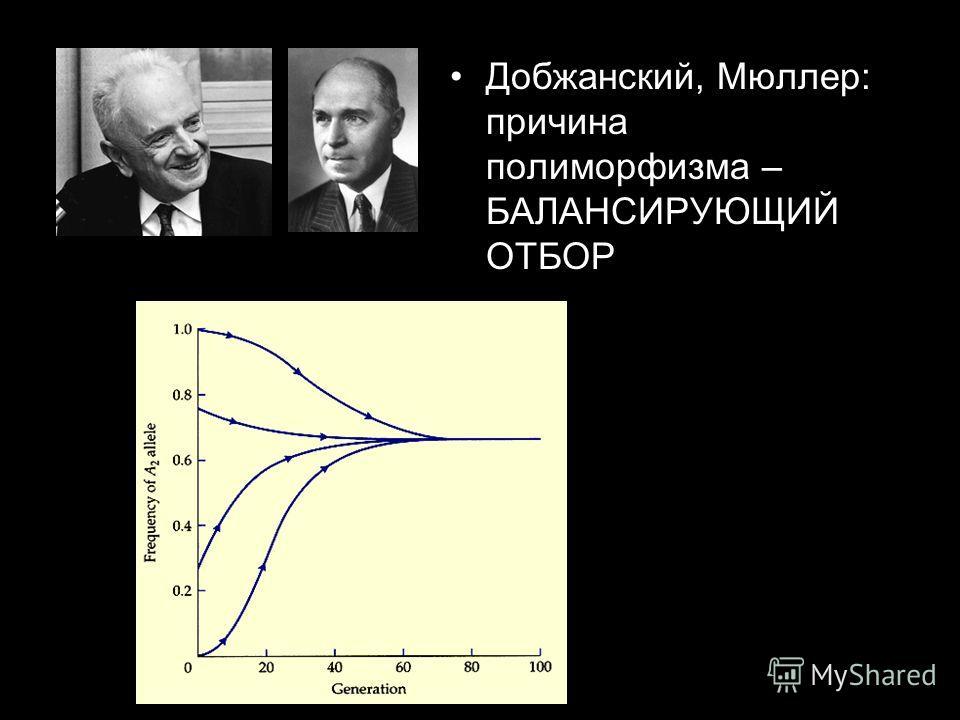 Добжанский, Мюллер: причина полиморфизма – БАЛАНСИРУЮЩИЙ ОТБОР