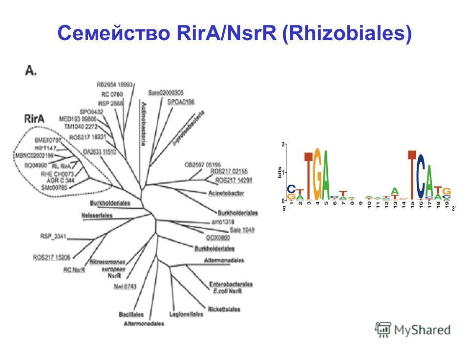 Семейство RirA/NsrR (Rhizobiales)