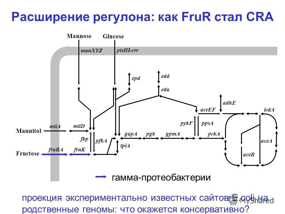 Расширение регулона: как FruR стал CRA icdA aceA aceB aceEF pckA ppsApykF adhE gpmApgk tpiA gapA pfkA fbp Fructose fruKfruBA eda edd epd Glucose ptsHI-crr Mannose manXYZ mtlD mtlA Mannitol гамма-протеобактерии проекция экспериментально известных сайт