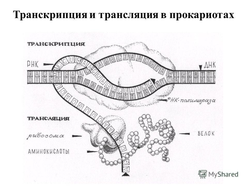 Транскрипция и трансляция в прокариотах