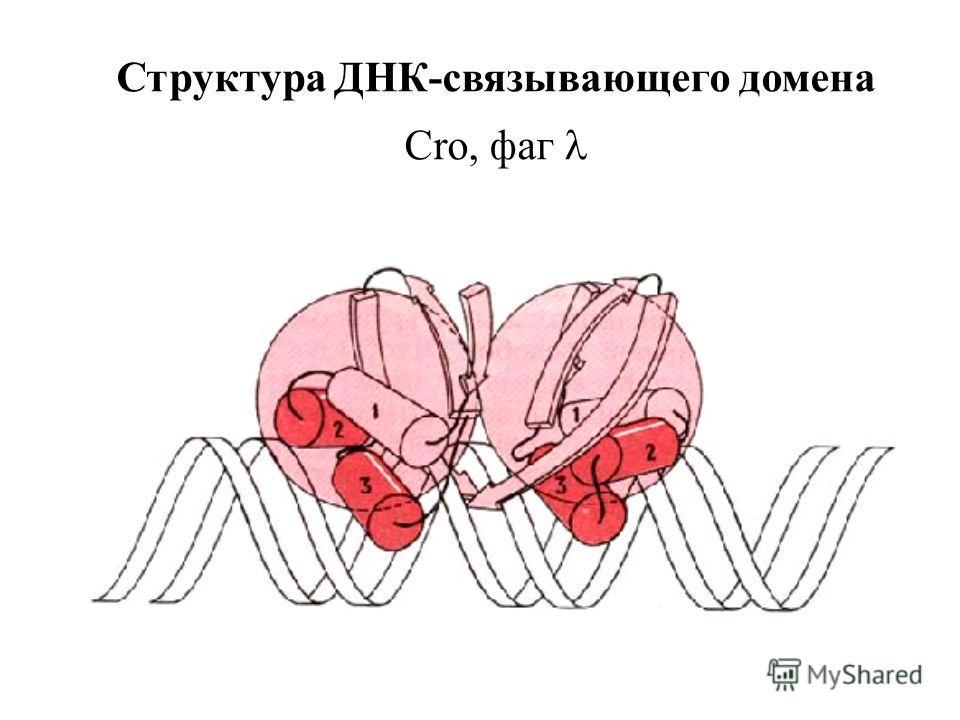 Структура ДНК-связывающего домена Cro, фаг