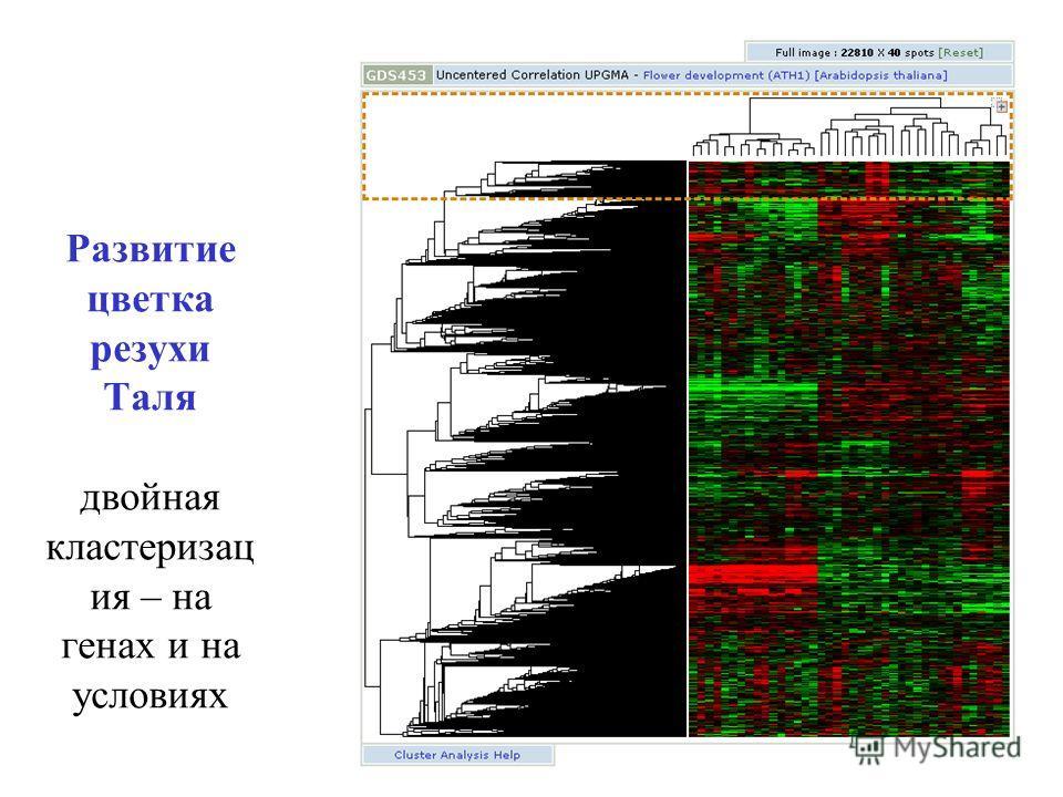 Развитие цветка резухи Таля двойная кластеризац ия – на генах и на условиях