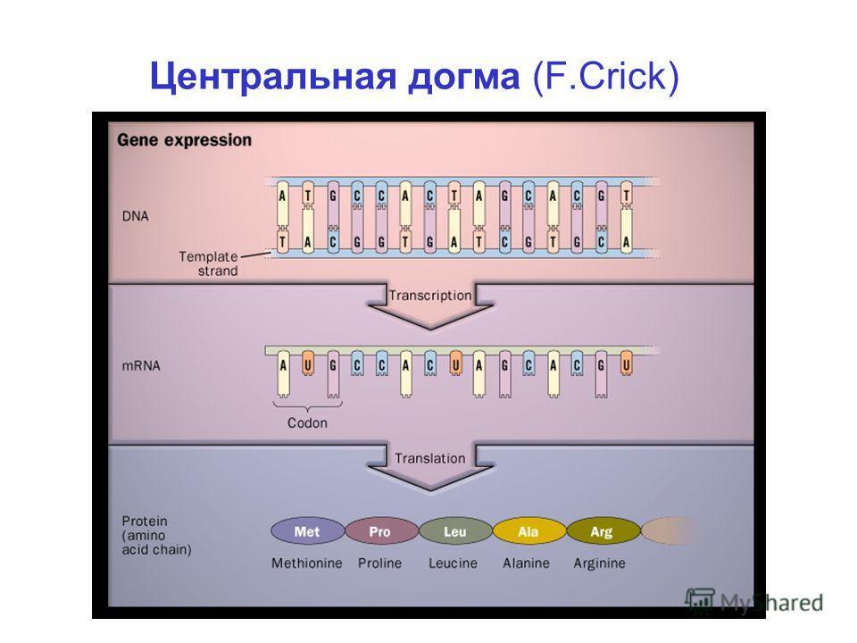 Центральная догма (F.Crick)