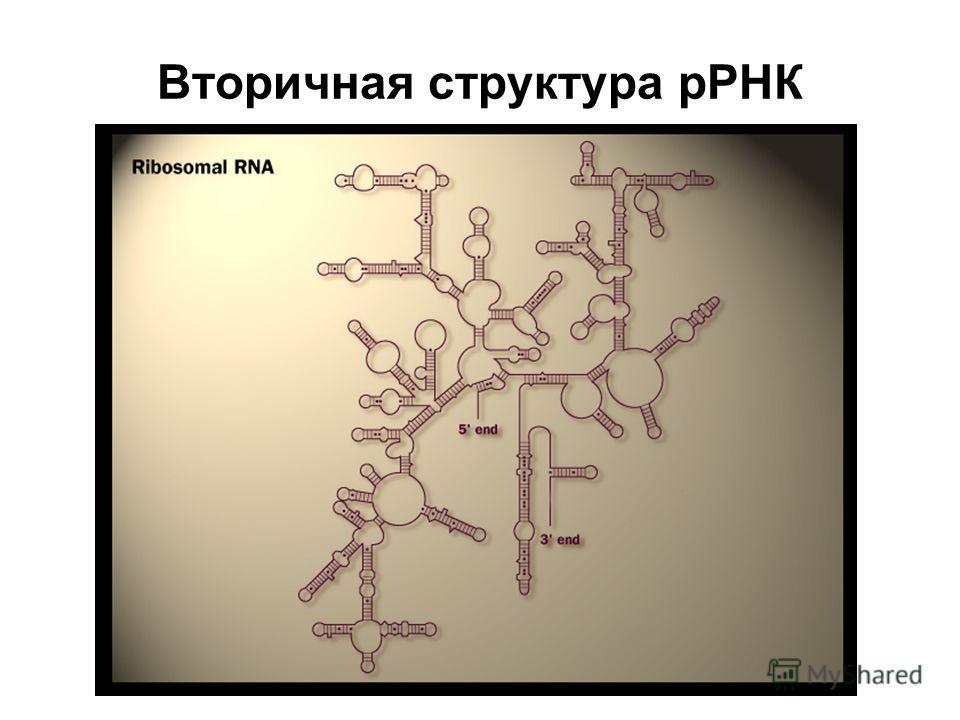 Вторичная структура рРНК