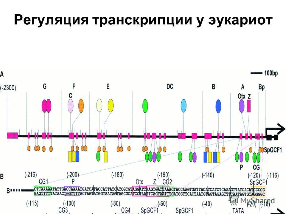 Регуляция транскрипции у эукариот