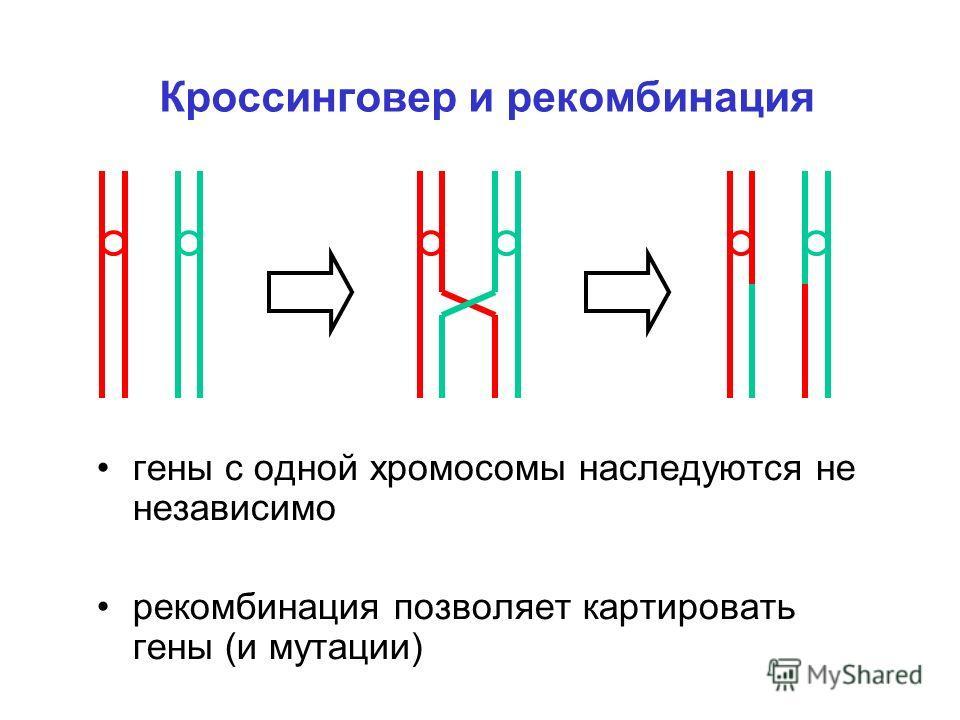 Кроссинговер и рекомбинация гены с одной хромосомы наследуются не независимо рекомбинация позволяет картировать гены (и мутации)