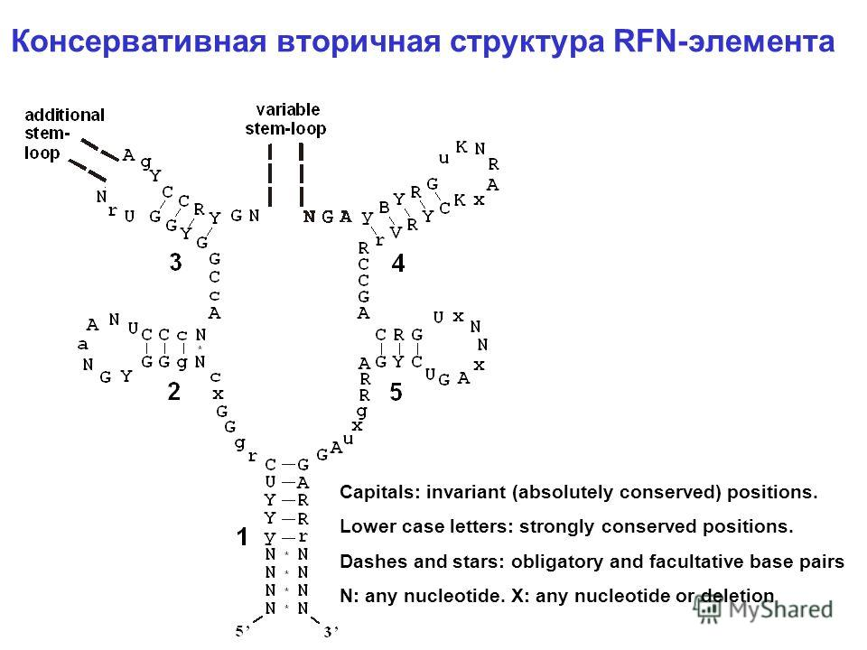 Консервативная вторичная структура RFN-элемента Capitals: invariant (absolutely conserved) positions. Lower case letters: strongly conserved positions. Dashes and stars: obligatory and facultative base pairs N: any nucleotide. X: any nucleotide or de