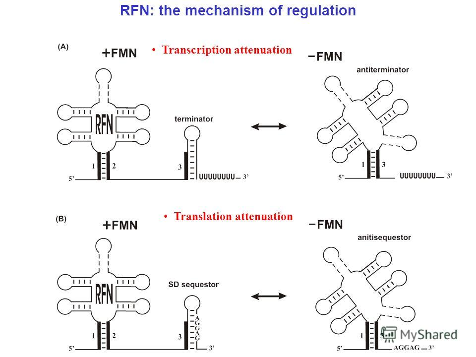 RFN: the mechanism of regulation Transcription attenuation Translation attenuation