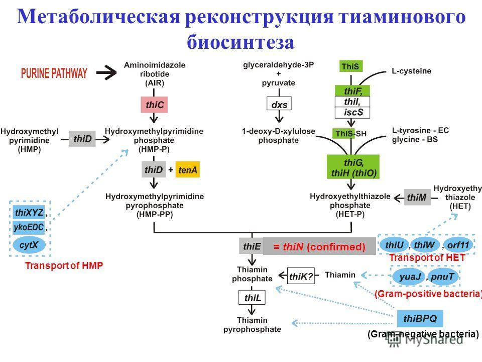 Метаболическая реконструкция тиаминового биосинтеза = thiN (confirmed) (Gram-positive bacteria) (Gram-negative bacteria) Transport of HMP Transport of HET