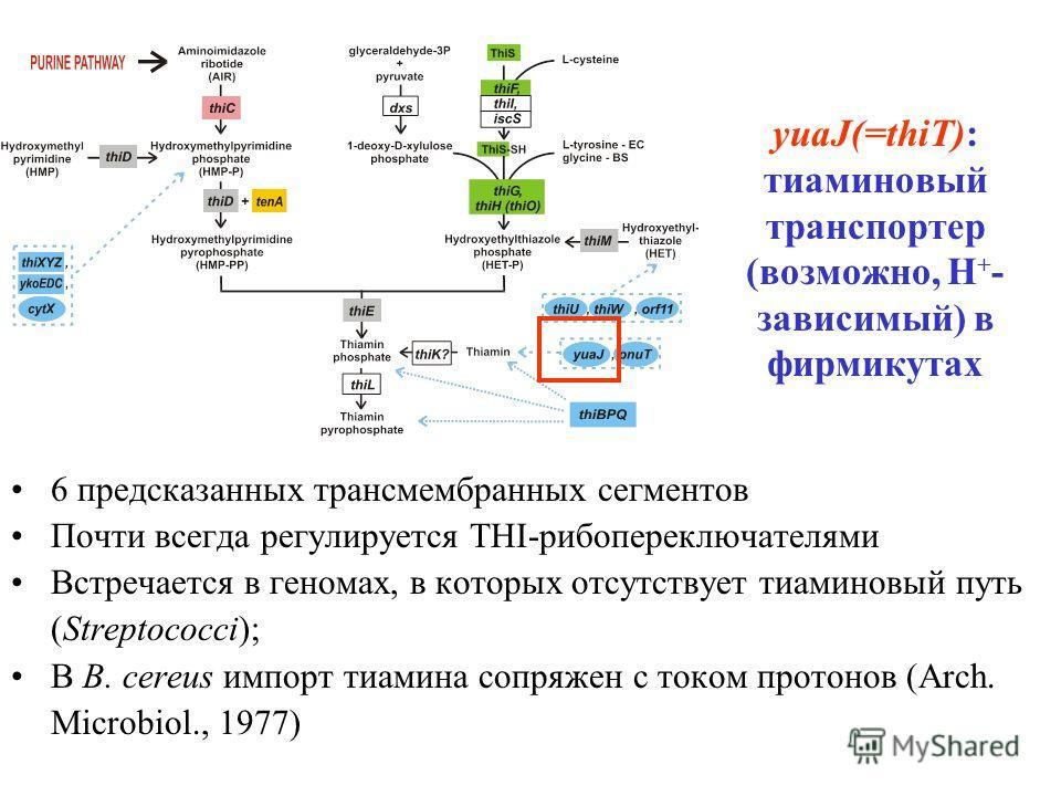 yuaJ(=thiT): тиаминовый транспортер (возможно, H + - зависимый) в фирмикутах 6 предсказанных трансмембранных сегментов Почти всегда регулируется THI-рибопереключателями Встречается в геномах, в которых отсутствует тиаминовый путь (Streptococci); В B.