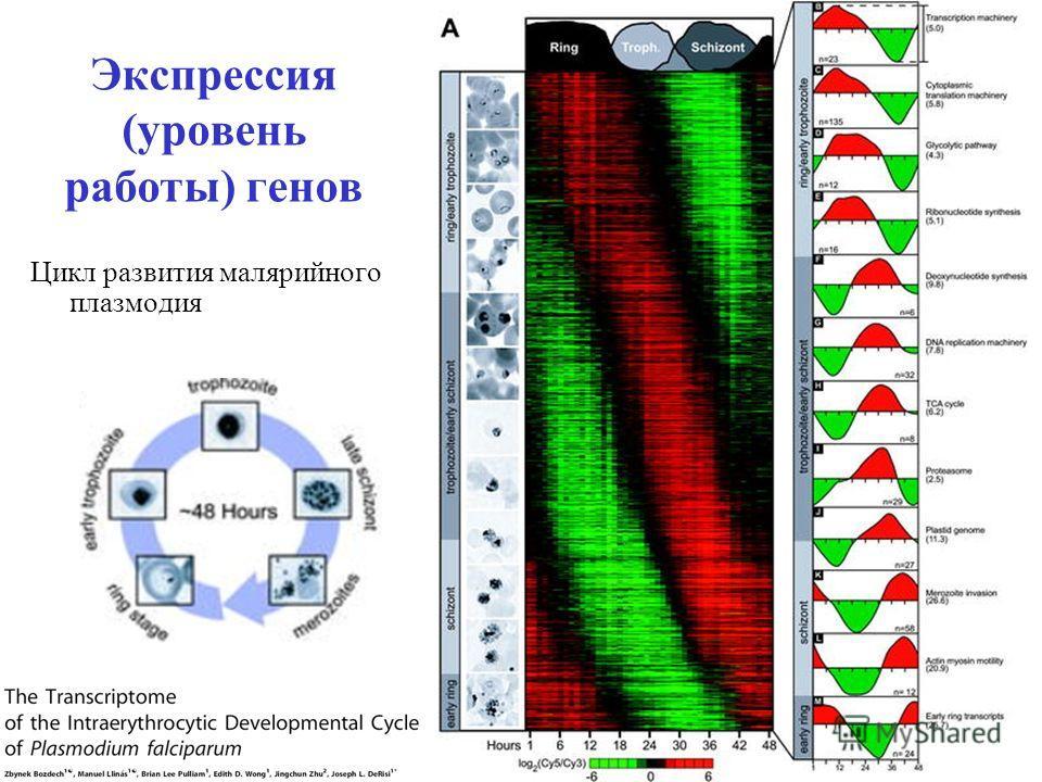 Экспрессия (уровень работы) генов Цикл развития малярийного плазмодия