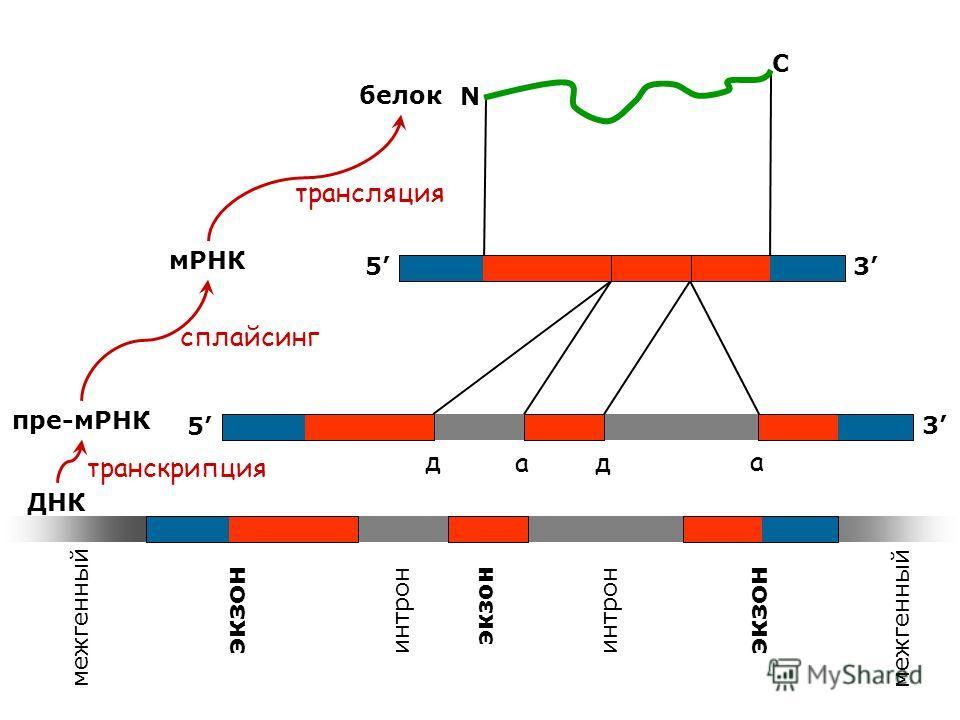 ДНК пре-мРНК мРНК белок межгенный экзон интрон экзон межгенный экзон интрон 5 5 3 3 N C трансляция транскрипция сплайсинг д ад а