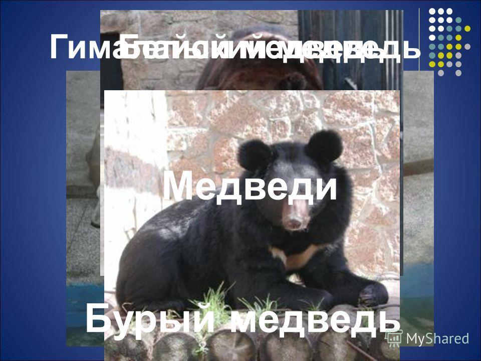 Белый медведь Бурый медведь Гималайский медведь Медведи
