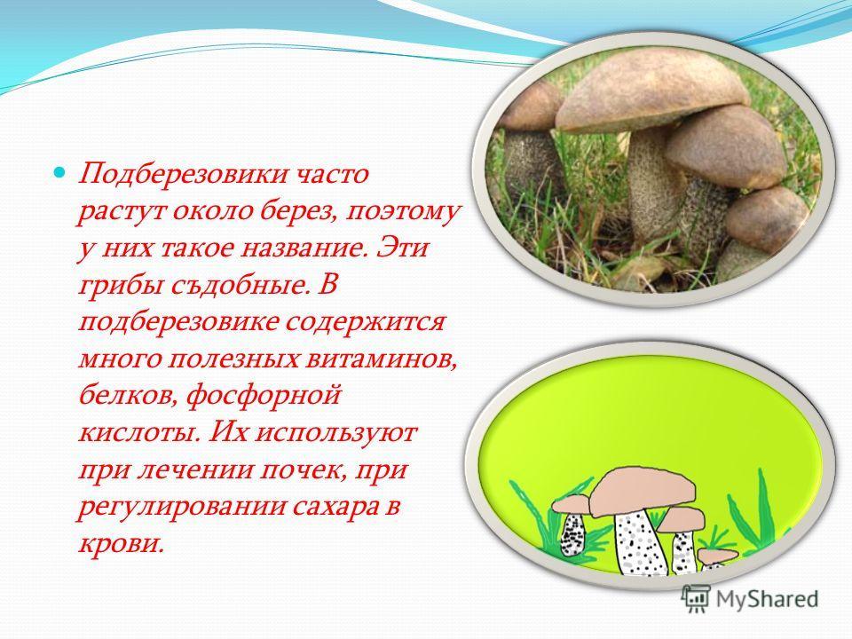 Подберезовики часто растут около берез, поэтому у них такое название. Эти грибы съдобные. В подберезовике содержится много полезных витаминов, белков, фосфорной кислоты. Их используют при лечении почек, при регулировании сахара в крови.