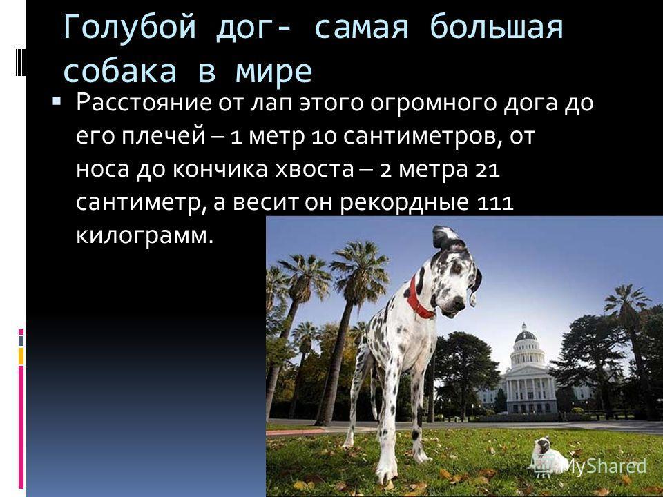 Голубой дог- самая большая собака в мире Расстояние от лап этого огромного дога до его плечей – 1 метр 10 сантиметров, от носа до кончика хвоста – 2 метра 21 сантиметр, а весит он рекордные 111 килограмм.