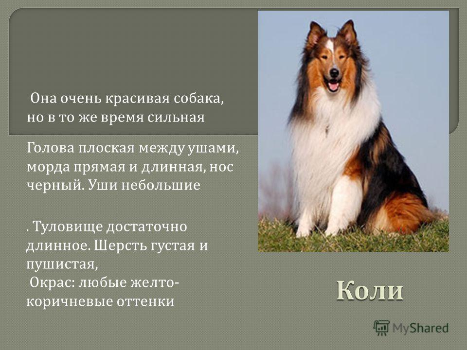 Она очень красивая собака, но в то же время сильная Голова плоская между ушами, морда прямая и длинная, нос черный. Уши небольшие. Туловище достаточно длинное. Шерсть густая и пушистая, Окрас : любые желто - коричневые оттенки