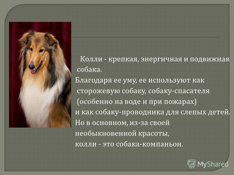 Колли - крепкая, энергичная и подвижная собака. Благодаря ее уму, ее используют как сторожевую собаку, собаку - спасателя ( особенно на воде и при пожарах ) и как собаку - проводника для слепых детей. Но в основном, из - за своей необыкновенной красо
