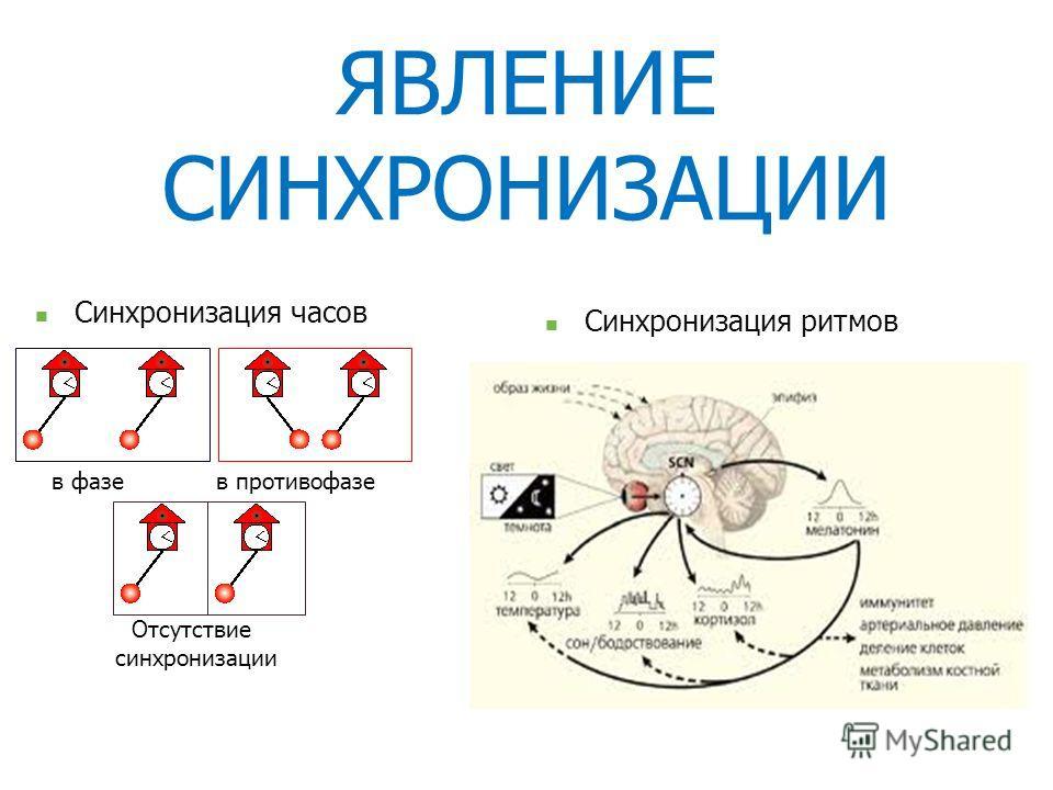 ЯВЛЕНИЕ СИНХРОНИЗАЦИИ Синхронизация часов в фазев противофазе Отсутствие синхронизации Синхронизация ритмов