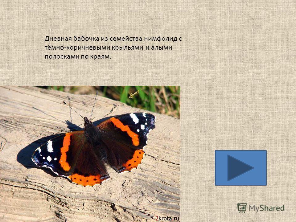 Красивая дневная бабочка из семейства парусников, занесена как охраняемый вид в Красную книгу.