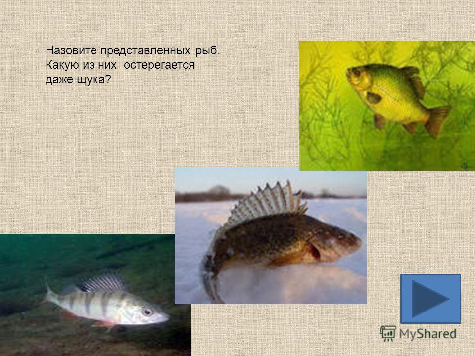 Назовите представителей хищных рыб. Кто из них опаснее?