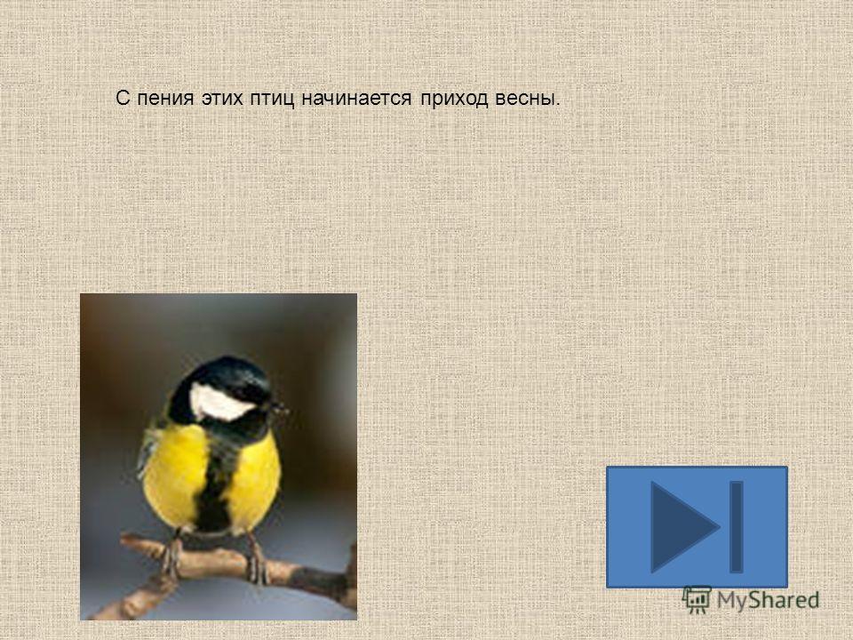 Из-за своей говорливости, эти птицы прозваны трещётками, поэтому болтливых людей называют их именем.