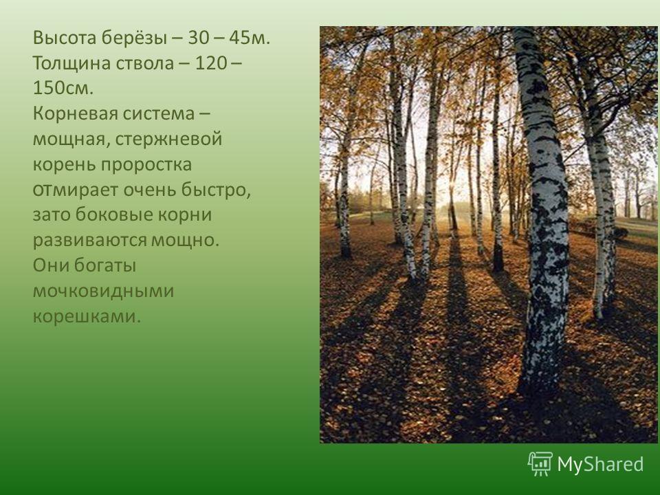 Высота берёзы – 30 – 45м. Толщина ствола – 120 – 150см. Корневая система – мощная, стержневой корень проростка от мирает очень быстро, зато боковые корни развиваются мощно. Они богаты мочковидными корешками.