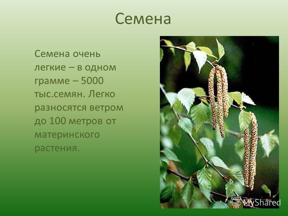 Семена Семена очень легкие – в одном грамме – 5000 тыс.семян. Легко разносятся ветром до 100 метров от материнского растения.
