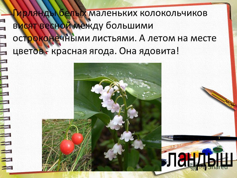 Гирлянды белых маленьких колокольчиков висят весной между большими остроконечными листьями. А летом на месте цветов - красная ягода. Она ядовита!