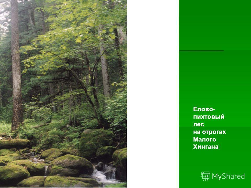 Елово- пихтовый лес на отрогах Малого Хингана