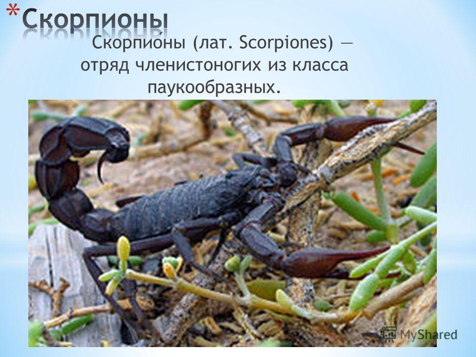 Скорпионы (лат. Scorpiones) отряд членистоногих из класса паукообразных.