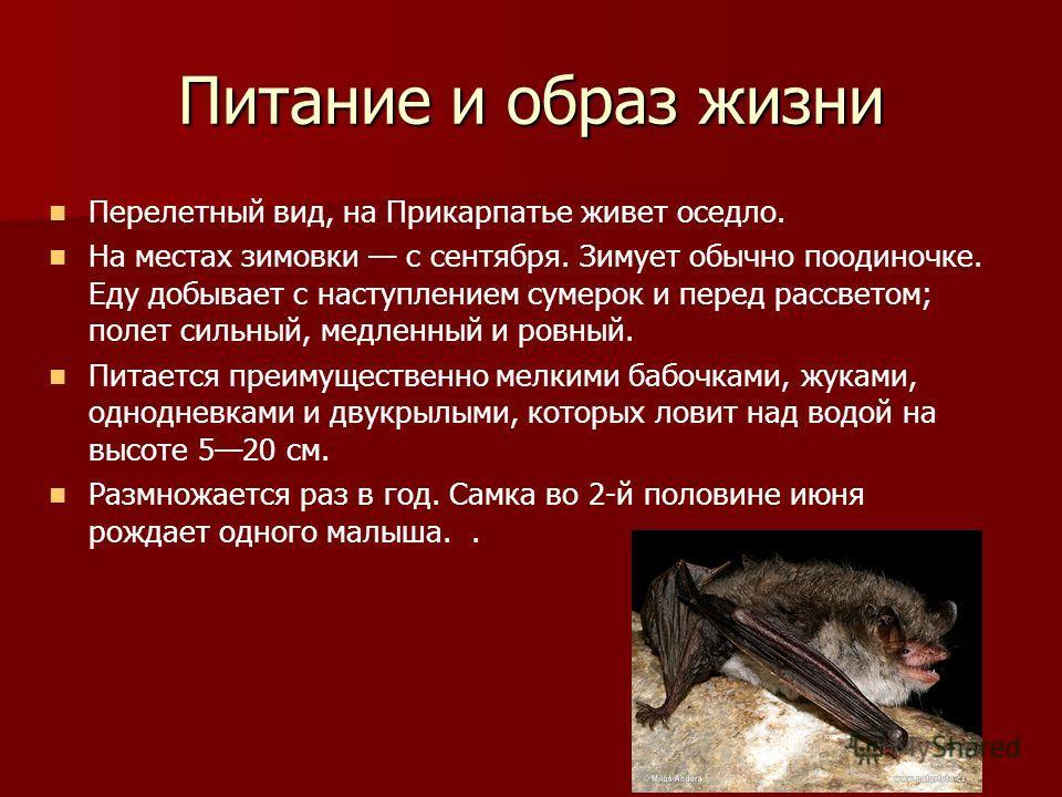 Питание и образ жизни Перелетный вид, на Прикарпатье живет оседло. На местах зимовки с сентября. Зимует обычно поодиночке. Еду добывает с наступлением сумерок и перед рассветом; полет сильный, медленный и ровный. Питается преимущественно мелкими бабо