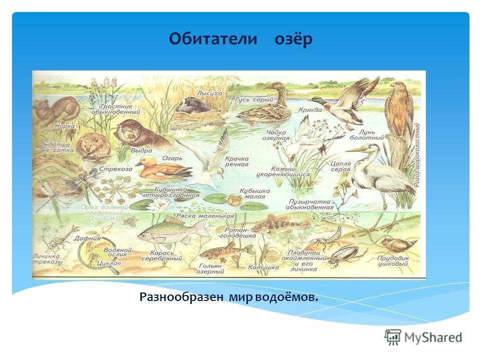 Обитатели озёр Разнообразен мир водоёмов.