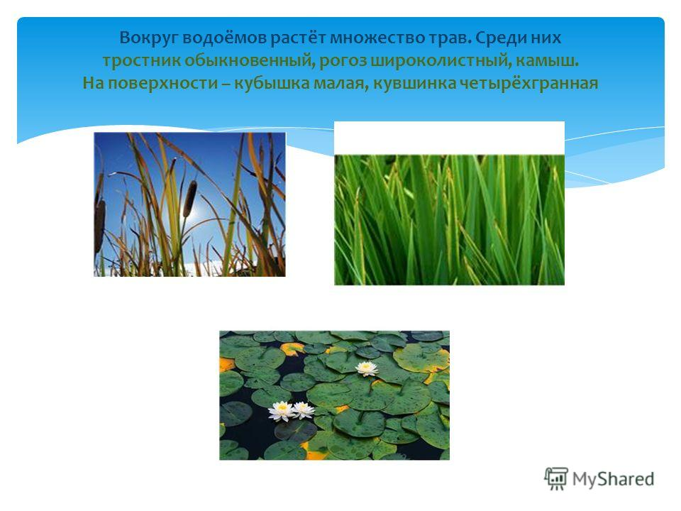 Вокруг водоёмов растёт множество трав. Среди них тростник обыкновенный, рогоз широколистный, камыш. На поверхности – кубышка малая, кувшинка четырёхгранная