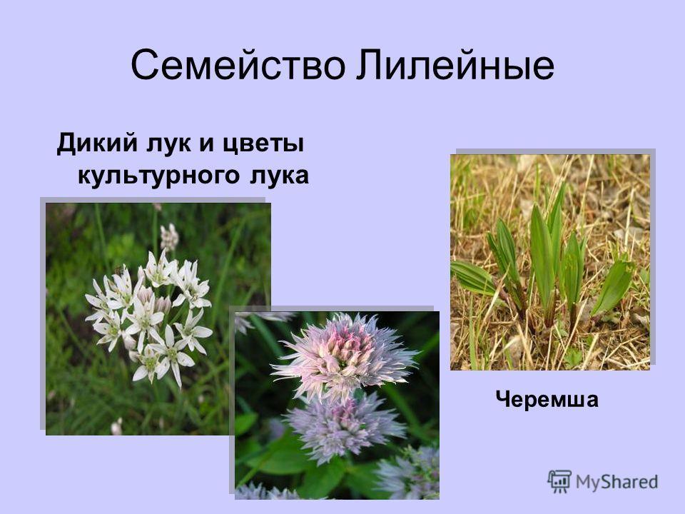 Семейство Лилейные Дикий лук и цветы культурного лука Черемша