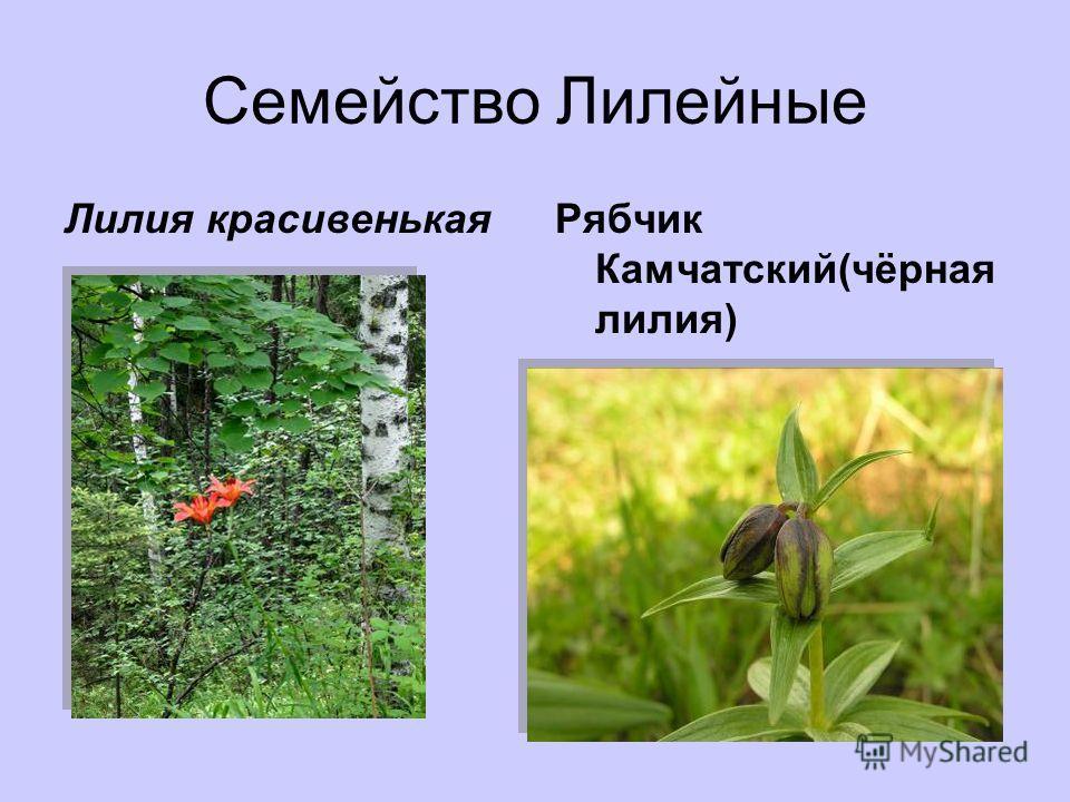 Семейство Лилейные Лилия красивенькаяРябчик Камчатский(чёрная лилия)
