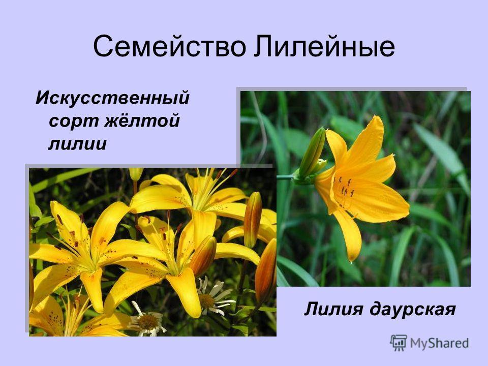 Семейство Лилейные Искусственный сорт жёлтой лилии Лилия даурская