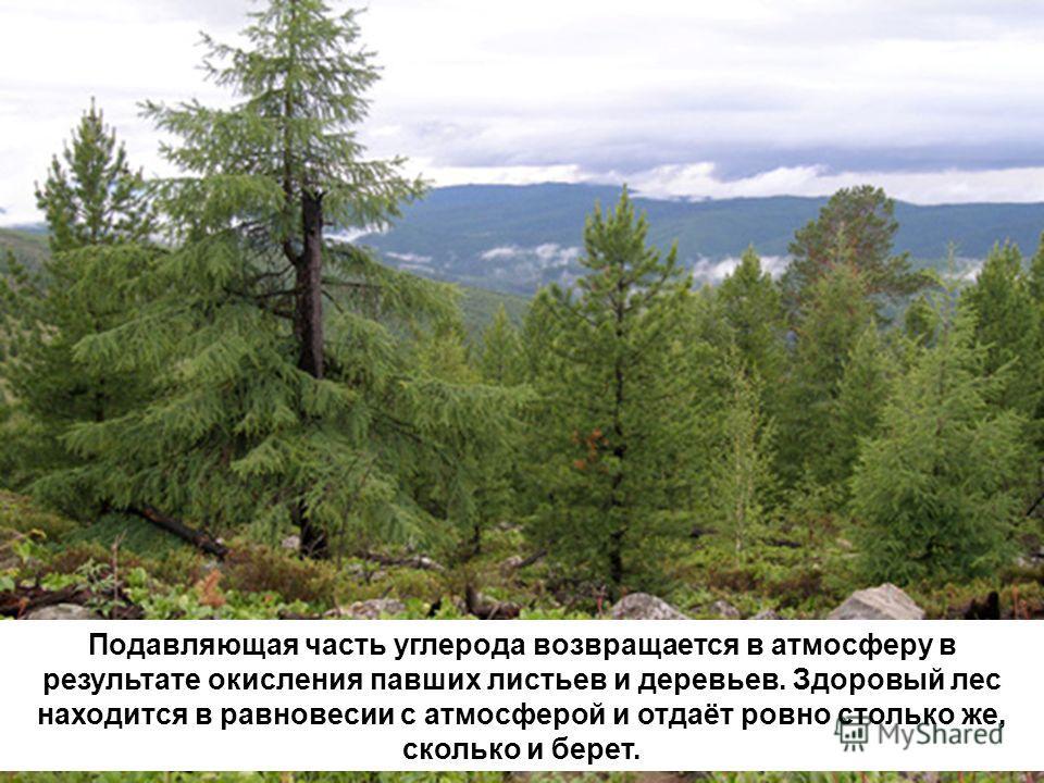 Подавляющая часть углерода возвращается в атмосферу в результате окисления павших листьев и деревьев. Здоровый лес находится в равновесии с атмосферой и отдаёт ровно столько же, сколько и берет.