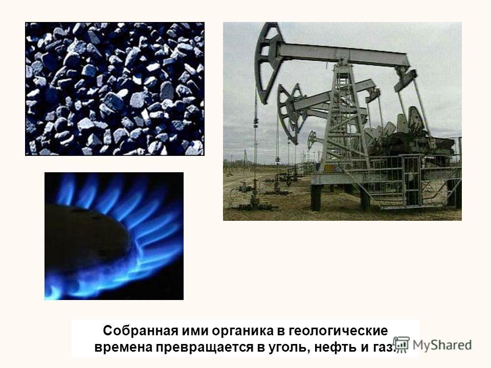 Собранная ими органика в геологические времена превращается в уголь, нефть и газ.